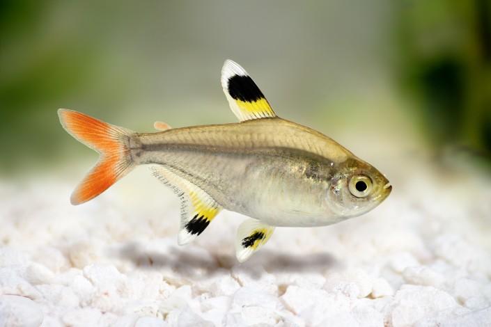 Golden pristella tetra Pristella maxillaris X-ray tetra aquarium fish
